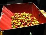 Fresh coffee fruit
